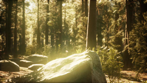 hyperlapse in sequoia forest from sunrise GIF