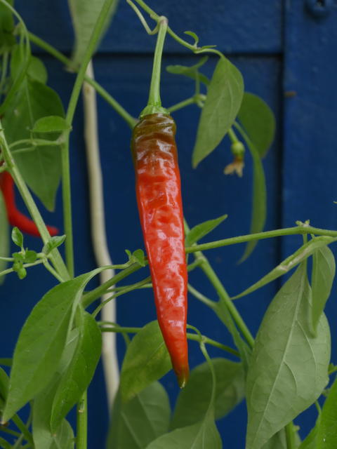 red hot pepper Photo