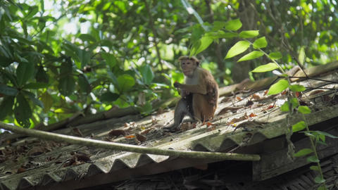 wild Toque macaque sits on roof and enjoys eating fruits GIF