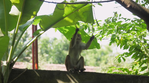 Toque macaque sits on roof holds tree twig and bites leaf GIF