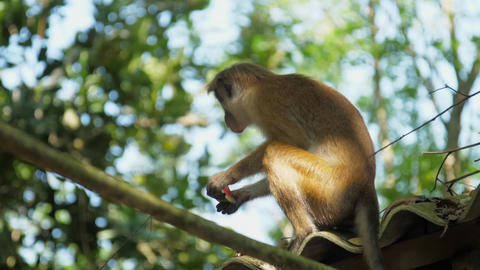 cute Toque macaque with short light brown fur eats apple GIF