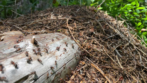 Moving ants over a tree trunk in the forest GIF