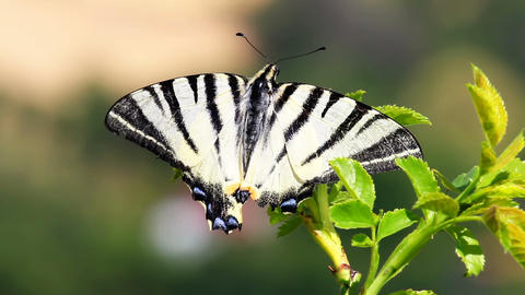 Beautiful scarce swallowtail, Iphiclides podalirius butterfly sitting on grass with open wings and GIF