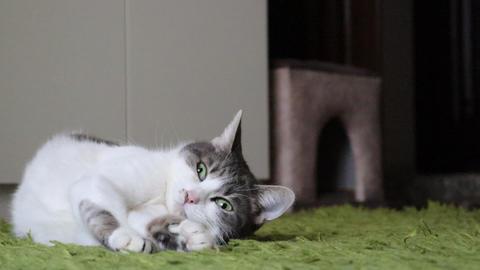 Gray Tabby Sleepy Cat Laying on a Carpet GIF