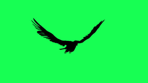 3d animation silhouette of Falcon Gliding and Flapping isolated on green screen Animation