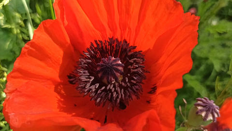bee collecting nectar from stamens of red poppy flower. Bee climbing in flower Live Action