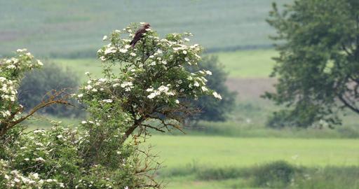 Marsh Harrier, Birds of prey, Europe Wildlife Live Action