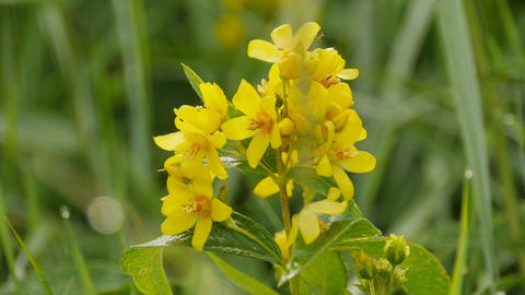 flowers yellow loosestrife GIF