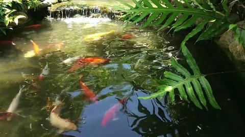 Koi Fish Swimming O A Man Made Fish Pond Live Action