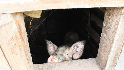 pig looks out from window of shed Footage