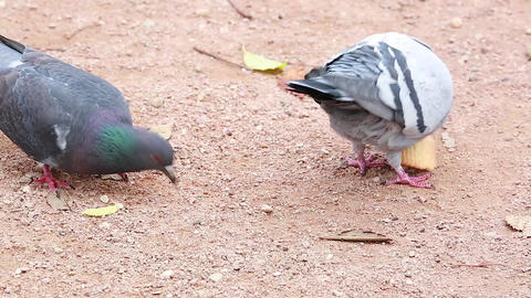 Funny Pigeon Eating a Biscuit Footage