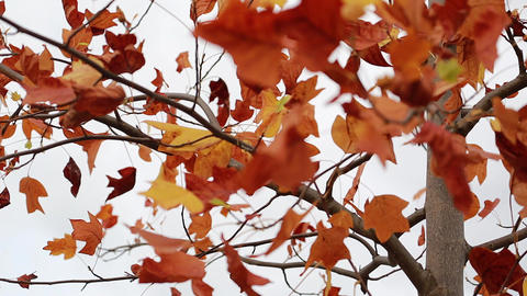 Red Autumn Leaves Swaying In The Wind Footage