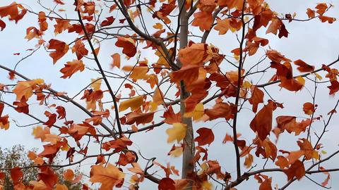 Autumn Leaves Waving On Wind Footage