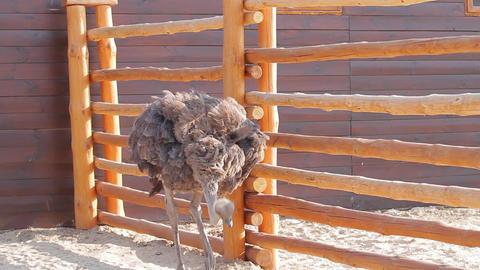 Ostrich farm ostrich walks on a farm Live Action