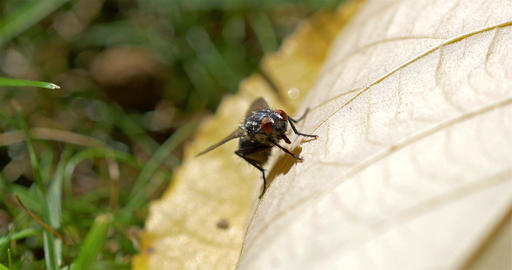 Fly Insect On A Leaf Footage