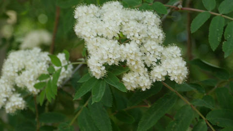 Flowering mountain ash Live Action