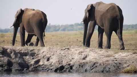 Zambezi river,Zimbabwe-August 1, 2015: Herd of African Elephants at sandbank of Zambezi river at Live Action