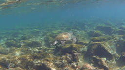 Green sea turtle (Chelonia mydas) floating over rocky ground Footage