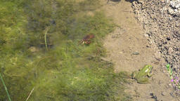 Green frog sits and small brown crab eats next to each other Footage
