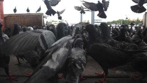 Group Of Pigeons Footage