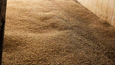 Lots of wheat grains falling down agricultural facility storage of grain wheat Live Action