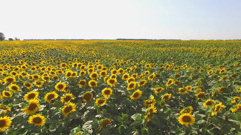 Sunflower field and sky yellow sunflowers and horizon Live Action