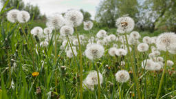 Dandelions on green meadow swaying in breeze Live Action
