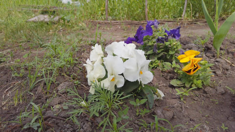 Garden flowers of different colors of pansies on a garden bed Live Action