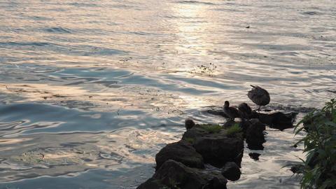 aquatic world, wildlife, birds, family concept - Female mallard duck with 6 Live Action