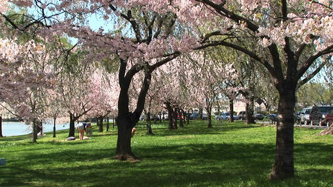 Cherry blossoms fill this park in Washington DC with beauty Stock Video Footage