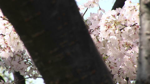 The camera pans across a tree filled with waving cherry... Stock Video Footage