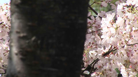 The camera pans across a tree filled with waving cherry blossoms Footage