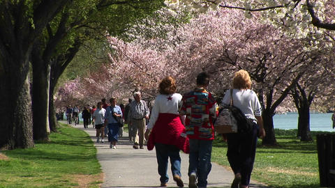Tourists walk down a path lined with cherry blossoms in... Stock Video Footage