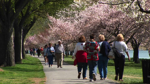Tourists walk down a path lined with cherry blossoms in Washington, DC Footage
