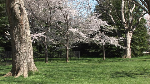 Cherry blossoms brighten this beautiful park Stock Video Footage