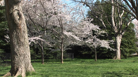 Cherry blossoms brighten this beautiful park Footage