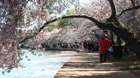 Tourists walk a path lined with beautiful cherry trees in... Stock Video Footage