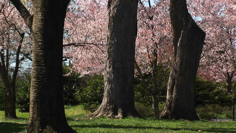 A Runner And A Bicyclist Exercise In A Beautiful Park Full Of Cherry Blossoms stock footage