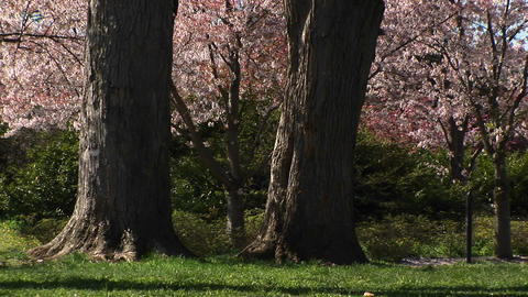Cherry blossoms gently fall to the ground Stock Video Footage