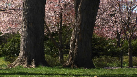 Cherry blossoms gently fall to the ground Footage