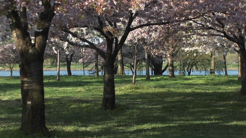 joggers enjoy the beautiful cherry blossoms in East Potomac Park Footage