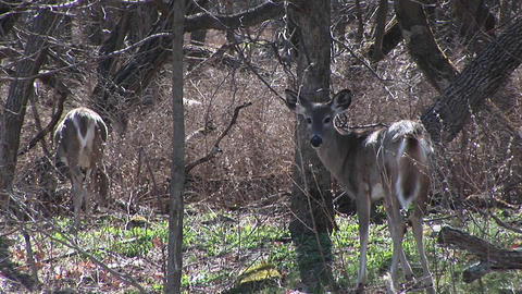 Watching the behaviors of two white-tailed deer in a sunny meadow Footage