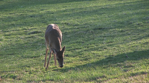 A white-tail deer is alerted while she is grazing on a... Stock Video Footage