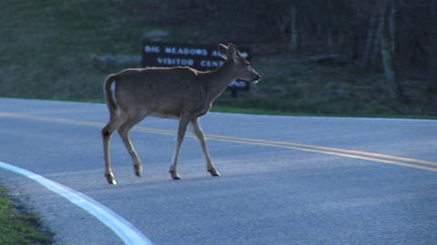 White-tailed deer staying alert in the shadows near a... Stock Video Footage
