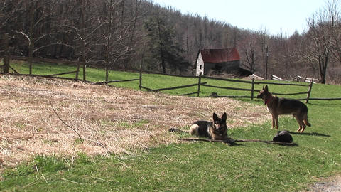 Three dogs passing the time of day in a field Stock Video Footage