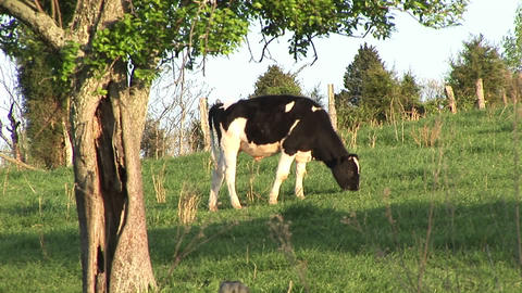 As a Holstein dairy cow grazes in a peaceful meadow,... Stock Video Footage