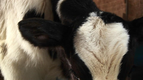 In this extreme close-up a white and brown spotted dairy... Stock Video Footage