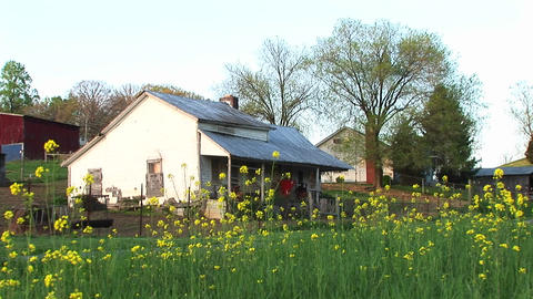 An old white house with a porch is surrounded by bright yellow flowers on a farm Footage