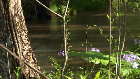 Purple wildflowers add color to a small shallow stream... Stock Video Footage