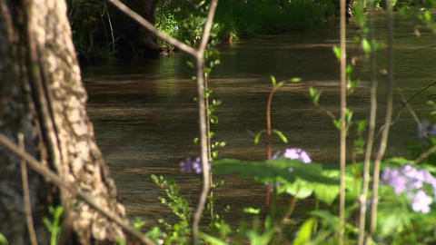 Purple wildflowers add color to a small shallow stream dappled by the sun Footage